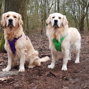 Golden retrievers Mike en Jesse